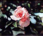 Pink Rose - Watercolor - Charlotte Bixby Yep