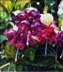 Purple Fuschia - Watercolor - Yep