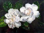 Two Gardenias - Watercolor - Charlotte Bixby Yep