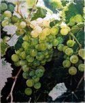 "Green Grapes - 21"" x 25"" - Watercolor - Charlotte Bixby Yep"