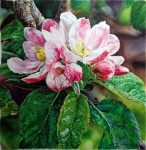 "Pink Crabapple Blossoms - 24"" x 24"" - Watercolor - Charlotte Bixby Yep"