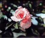 Pink Rose - Watercolor - Charlotte Bixby Yep