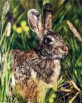 "Hare in Wheat Field - 16"" x 25"" - Watercolor - Charlotte Bixby Yep"