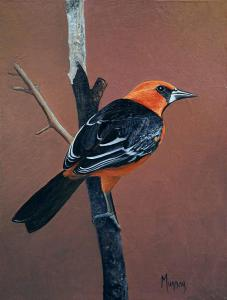 "Looking Beautiful Tonight Altamira Oriole | 8"" x 6"" 